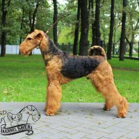 SHER HOOCH - SHER HOOCHJunior Champion of Russia, National Airedale terrier Club; Champion of Russia, National Airedale terrier Club, RKF, BIG-3 Рожд. 26.07.2015 (o. Flaire Matterhorn for Sher м. Sher White Rose) Владелец: Щербакова Полина (г. Москва)