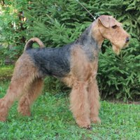 SHER LUK RING - SHER LUK RINGInternational Champion,Junior Champion of Russia, National Airedale Club; Champion of Russia, Estonia, Latvia, Litva, Poland, Germany, RKF, 2*National Airedale Club, HD-A, ED-0, ОКД-1 Рожд. 26.01.2012(о. Int.Ch.Stargus Galiano м. Int.Ch. Sher Gloria Glafira) Владелец Ирина Алексеева (г. Москва)