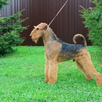 WINDANCER NEWTON FOR SHER - WINDANCER NEWTON FOR SHERJunior European Champion-2017, Amsterdam Winner-2017, Junior Champion of Russia, Poland, Ukraine, 4*National Airedale Terrier Club; Champion of Russia, Latvia, Belarus, 2*RKF, 4*CACIB, 2*BISJ, 2*BISJ-3, 3*BIG, BIG-3, BIS-3, RBIS, HD-A, ED-0.Рожд. 01.06.2016(о. Greenfield`s Celtic Legend м. Wildside Windancer)Владелец: Михеева Надежда (г. Москва)